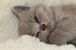 Jolie portée de bébés British lilac