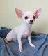 Chihuahua poil long et poil court entièrement...