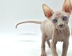 Magnifiques chatons sphynx