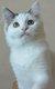 3 chatons Ragdoll disponible