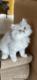 Magnifique chatons British longhair