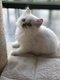 7 Magnifiques chatons British Longhair