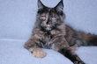 Une adorable chaton Maine-Coon pédigrée