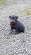 Chiots Rottweiller Royal pure race