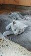 Magnifiques chatons Chartreux disponibles Octobre