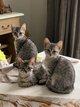 Mau égytien -chatons mâles et femelles
