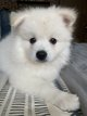 Adorable bébé Spitz nain tout blanc