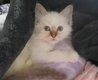 Bébé chaton sacré de birmanie