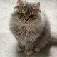 British Longhair & Shorthair chatons Blue Tabby