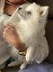 Exceptionnel Loulou de Poméranie typé Husky (mini...