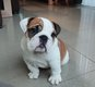 Chiot Bulldog anglais