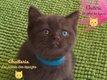 Splendides chatons British Shorthair Pédigrée